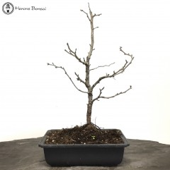 Fuji Cherry Bonsai Tree