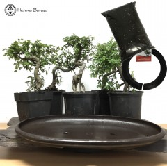 DIY Exposed Root Chinese Elm