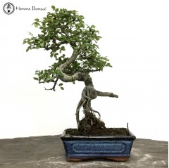 Chinese Elm | Exposed Root