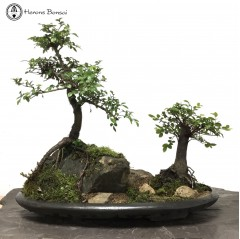 Exposed Root Elm Mother & Daughter Landscape | COLLECTION ONLY