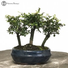 Ulmus parvifolia Chinese Elm Forest