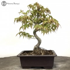 Mountain Maple Bonsai | Plastic Pot