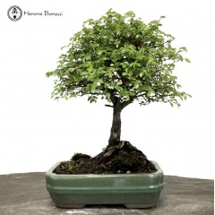 Ulmus parvifolia 'Chinese Elm' in an Rectangle pot