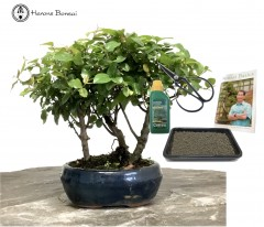 Sageretia Bonsai Forest Beginners Gift Set