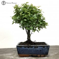Sageretia Bonsai tree
