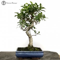 Ficus Bonsai S-Shape