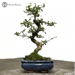 Fukien Tea 'Carmona' Bonsai Tree