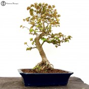 large trident maple bonsai tree | herons bonsai