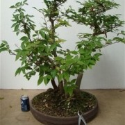 › Japanese White Beech