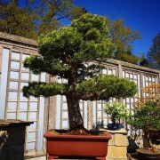 › Other Pine Bonsai