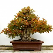 › Korean Hornbeam