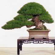 › Black Pine Bonsai