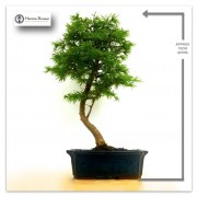 › Chinese Larch