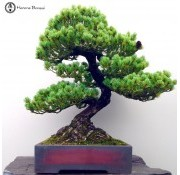 › White Pine Bonsai
