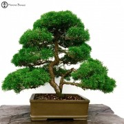 › Chinese Juniper Bonsai