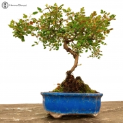 › Rose Bonsai