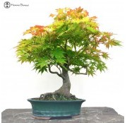 › Other Japanese Maples