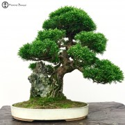 Chinese Junipers