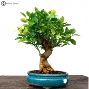 Indoor Bonsai Trees | A collection of popular bonsai trees