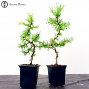 Conifers varieties