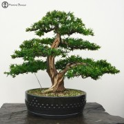 Outdoor Evergreen Bonsai Trees