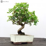 Indoor Bonsai Trees | A collection of popular bonsai trees | Next