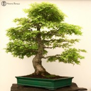 Japanese Maple Bonsai Trees (Acer)