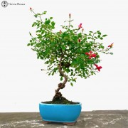 Bonsai Tree Gifts