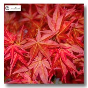 Acer (Maples)