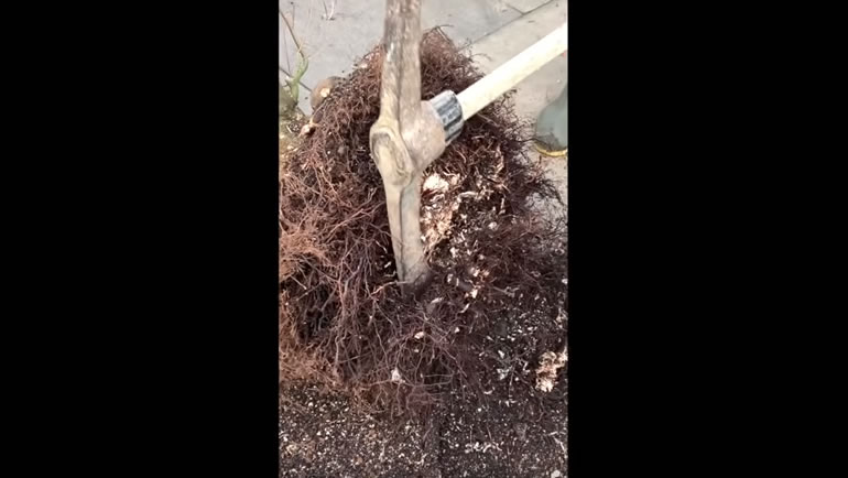 using axe on roots