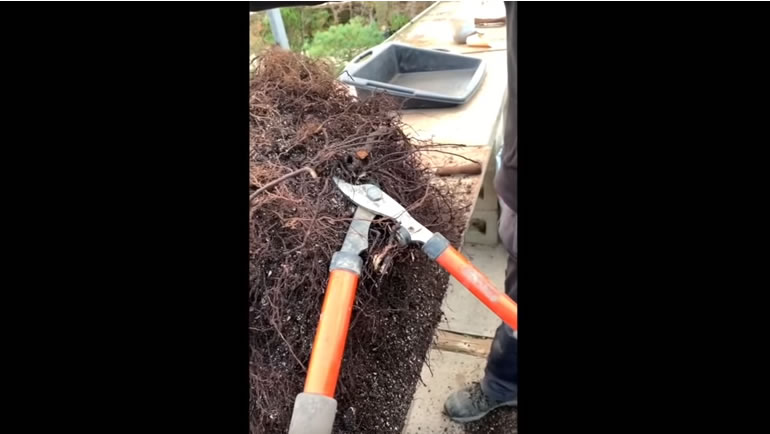 cutting root of tree