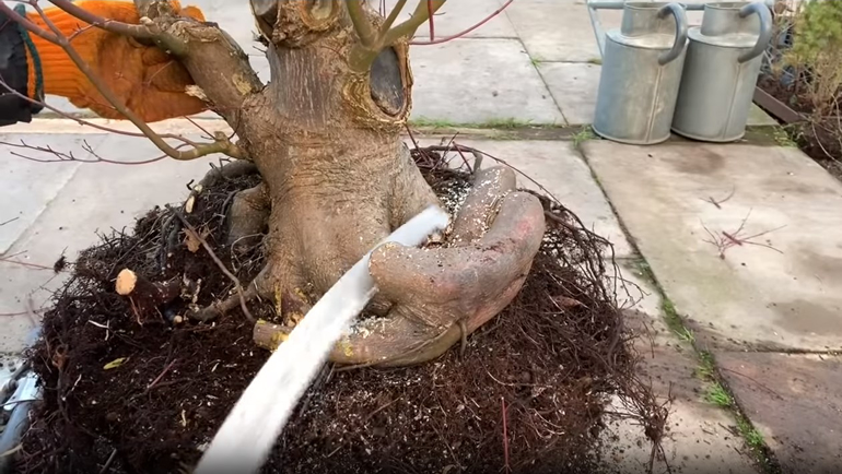 sawing tree roots