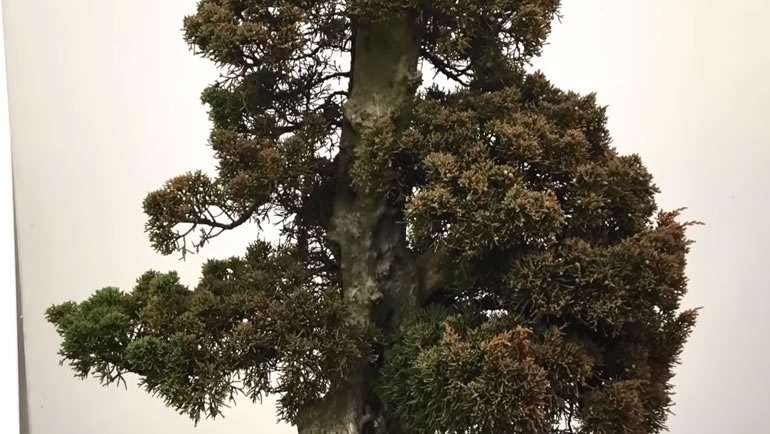juniper with thick trunk
