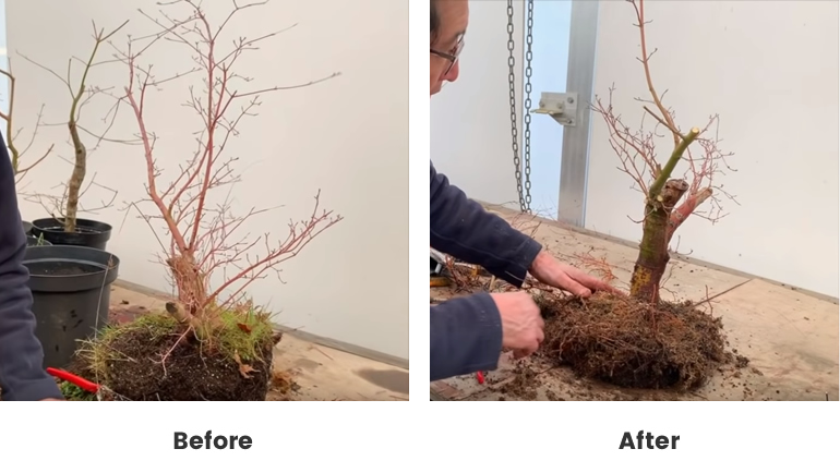 before and after Japanese Maple 3