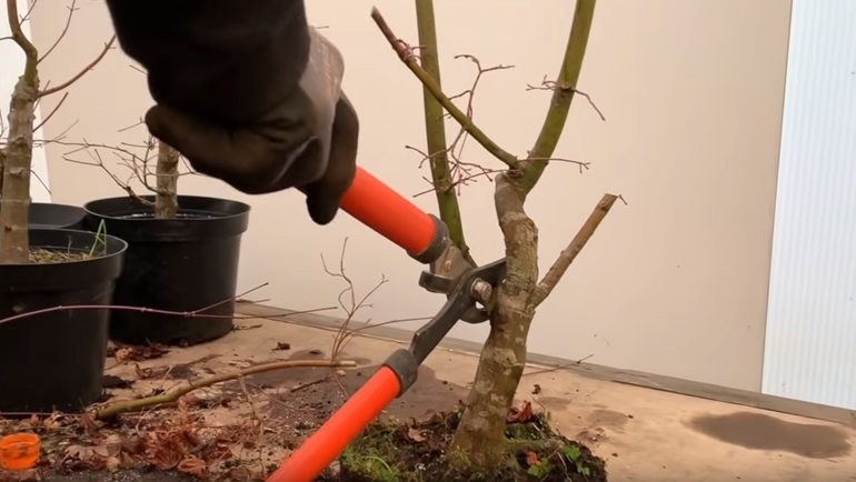 cutting back branch on bonsai