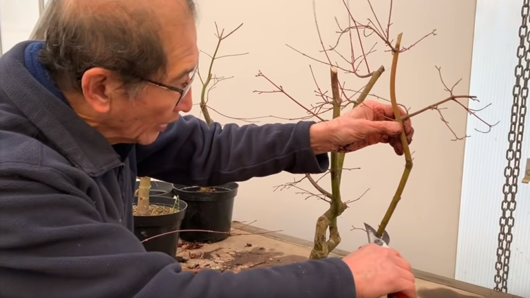 cutting branch on Japanese maple bonsai