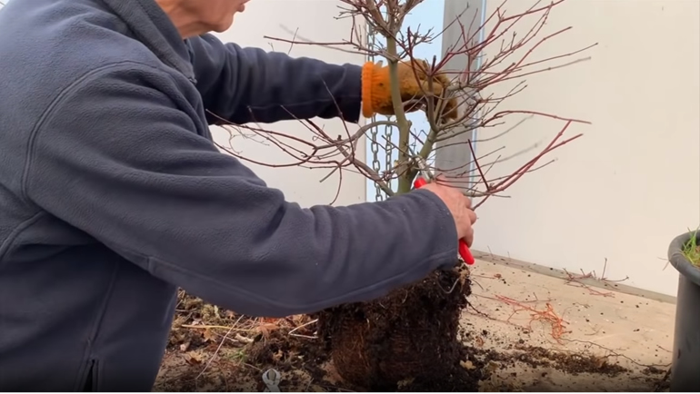 cutting grafted deshojo maple bonsai