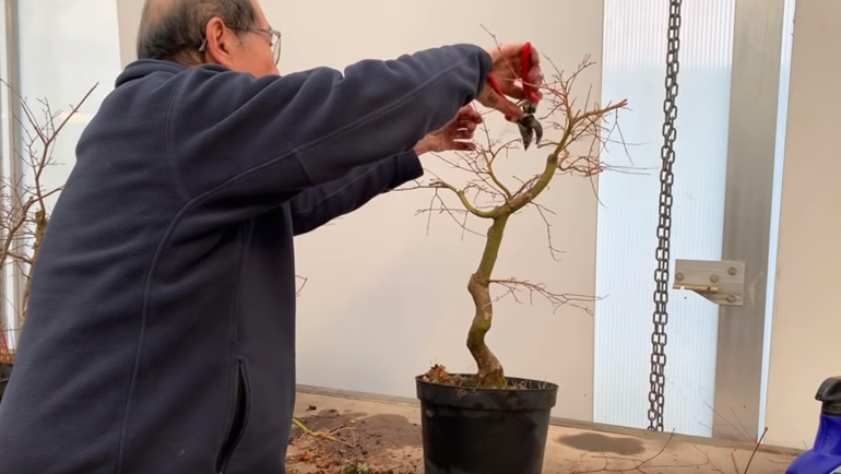 cutting shoots on maple bonsai