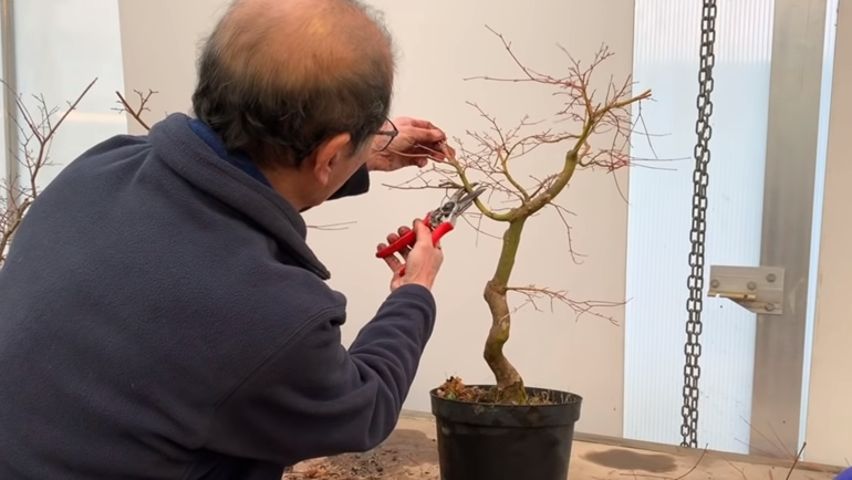 cutting side branch on bonsai