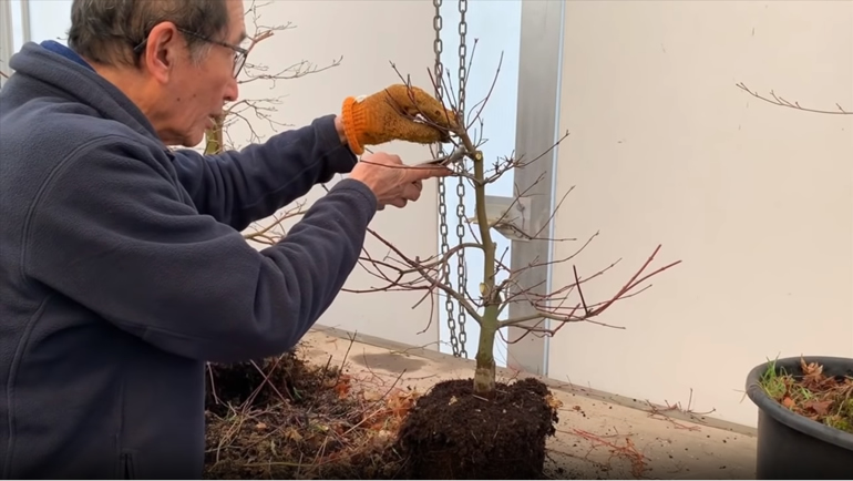 cutting top branch grafted deshojo