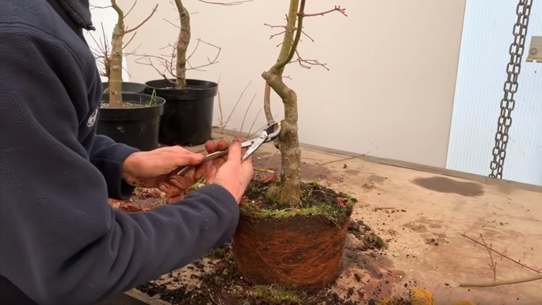 cutting Japanese bonsai with hybrid cutter