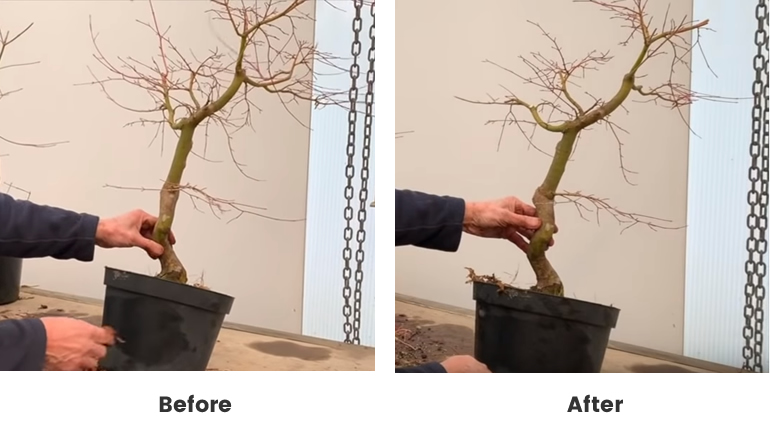 before and after maple bonsai