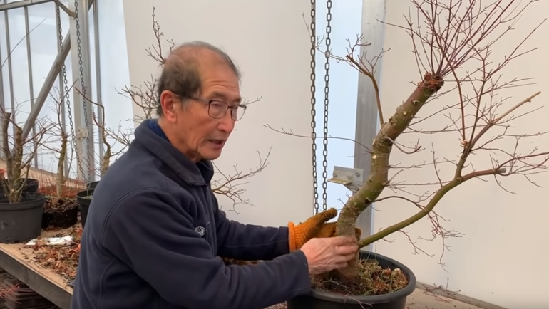 japanese bonsai after branch cuts