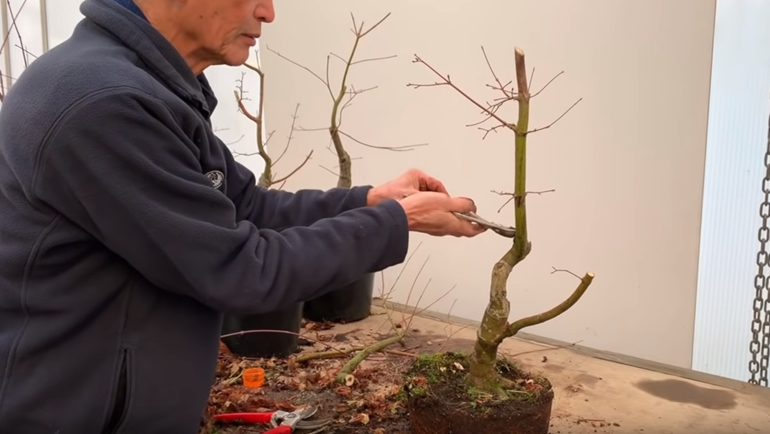 bonsai after branch cut