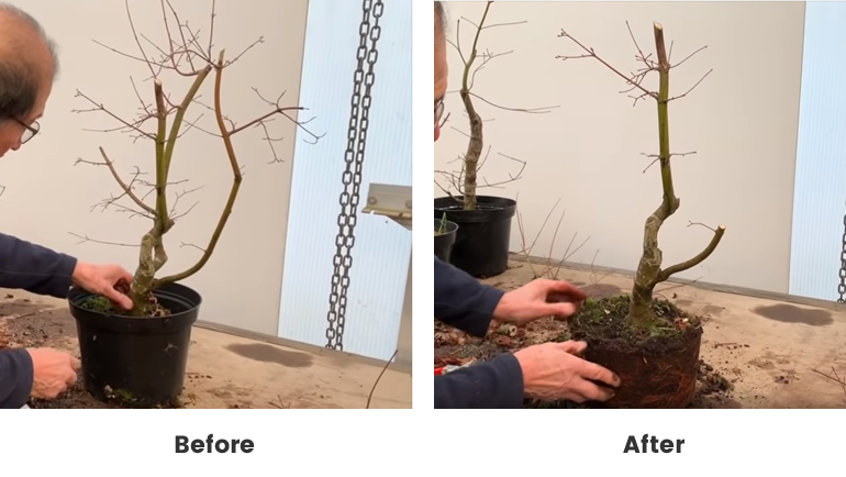 Japanese maple before and after