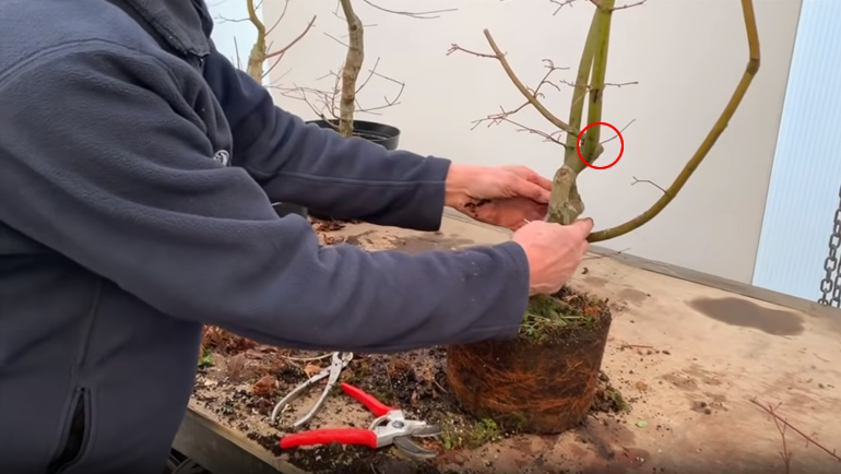 cutting japanese maple bonsai