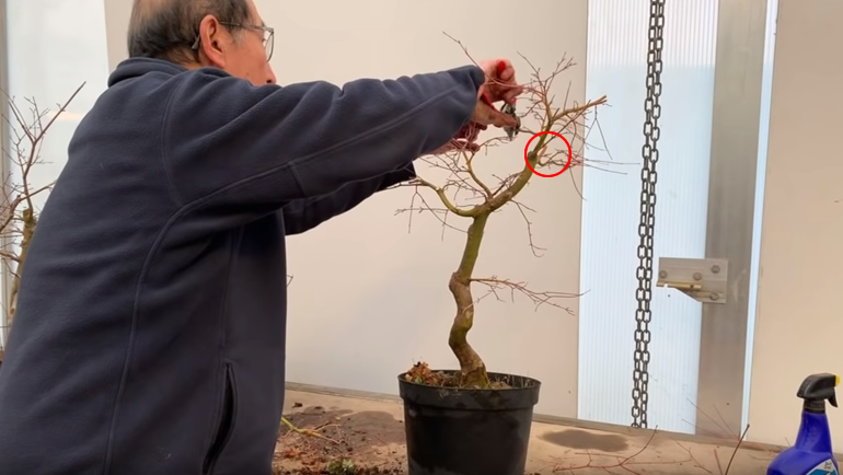wiring Japanese maple bonsai