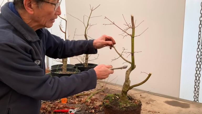 japanese maple bonsai before cut
