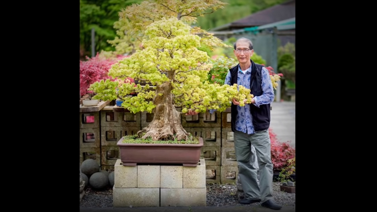 large trident maple bonsai