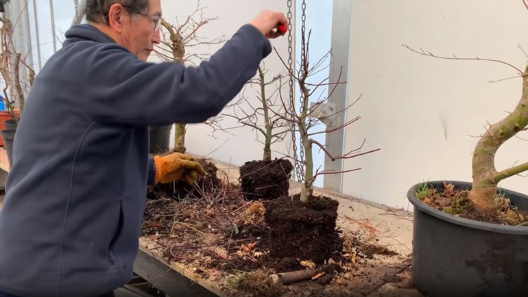 pruning deshojo maple bonsai